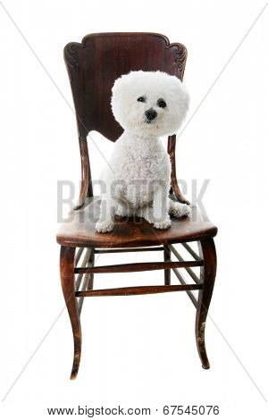 A Genuine Pure Breed Bichon Frise dog sits on an antique wooden chair. Isolated on white with room for your text.