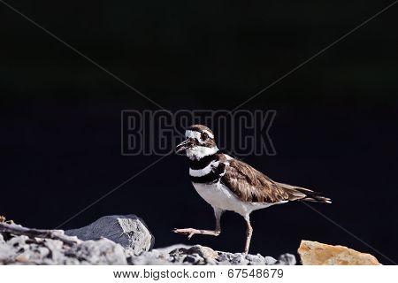 Male Killdeer