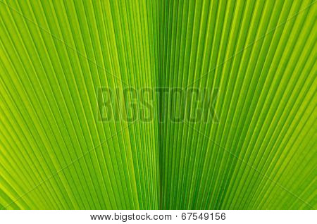 Close-up Of Line And Texture Of Green Palm Leaf - Background