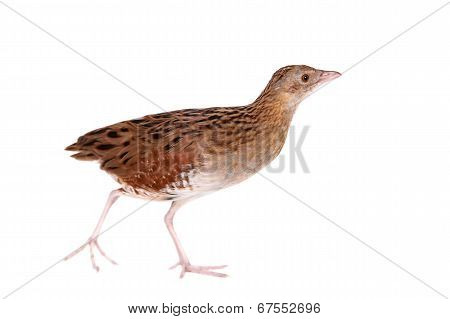Corncrake or Landrail, Crex crex, on white