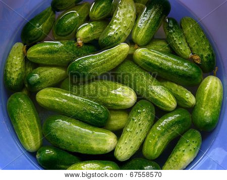 fresh harvested cucumbers preparing for pickling
