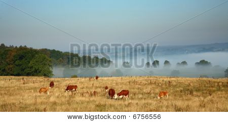 Cows in the fog in denmark in the summer poster