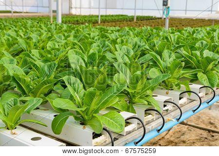 Romaine Lettuce Plantation