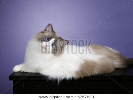 Blue Bicolor Ragdoll Cat on Lavendar Background