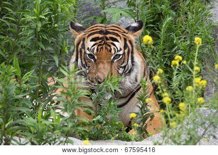 tiger behind bushes