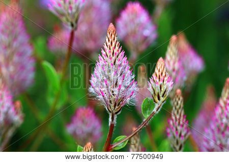 Showy Foxtail,Pink Pussy Tails,flowers and raindrop,closeup of purple and white flowers in full bloom with raindrop, Lambs Tails,Pink Mulla Mulla,Tall Mulla Mulla poster