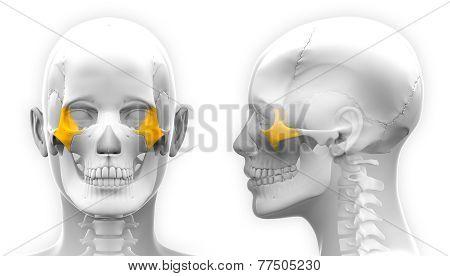 Female Zygomatic Bone Skull Anatomy - Blue Concept