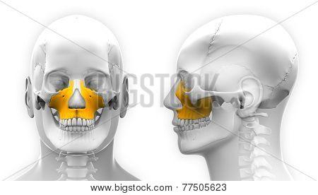 Male Maxilla Bone Skull Anatomy - Isolated On White