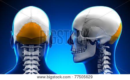 Male Occipital Bone Skull Anatomy - Blue Concept