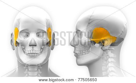 Male Temporal Bone Skull Anatomy - Isolated On White