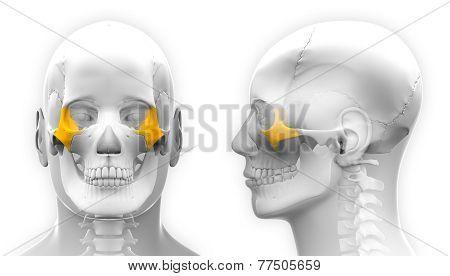 Male Zygomatic Bone Skull Anatomy - Isolated On White