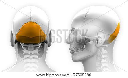 Male Occipital Bone Skull Anatomy - Isolated On White