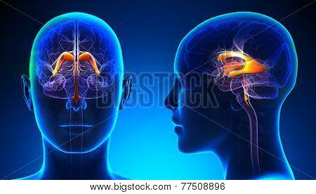 Female Venctricles Of Brain Anatomy