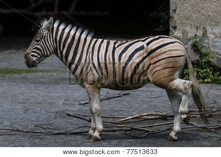 Damara zebra (Equus burchelli antiquorum).