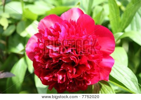close up of a red flower