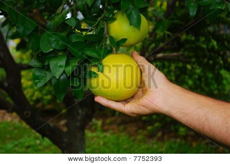 Picking A Grapefruit