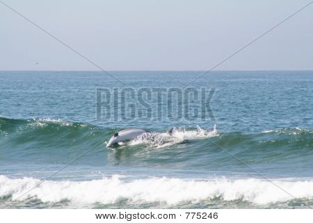 dolphin jumping out of wave