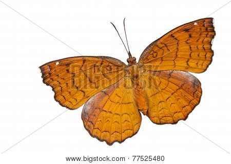 Top view of angled castor butterfly on white background poster