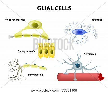Supporting Cells. Neuroglia Or Glial Cells