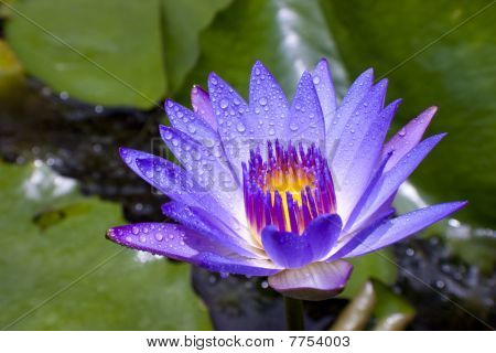 Water Drop On Purple Lotus In A Pond