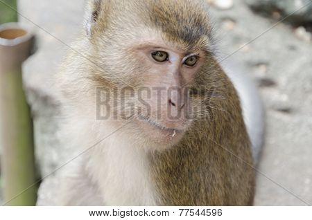 Long-tailed macaque (lat. Macaca mulatta, Old World monkey family) in Wat Suwan Kuha Temple (Phang Nga), Thailand poster