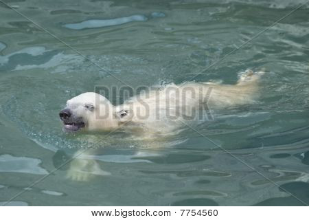Little Polar Bear Swimming