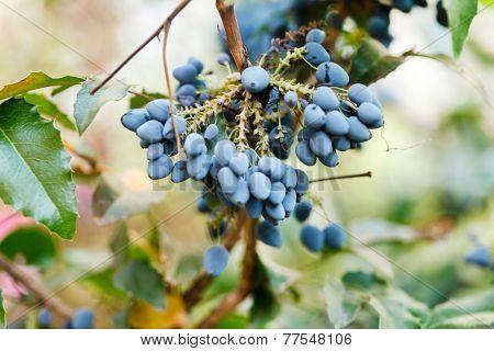 Fresh blue berries honeysuckle woodbine (lonicera) close up