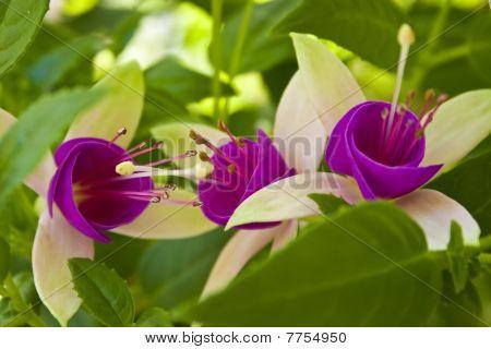 Fuchsia Flower