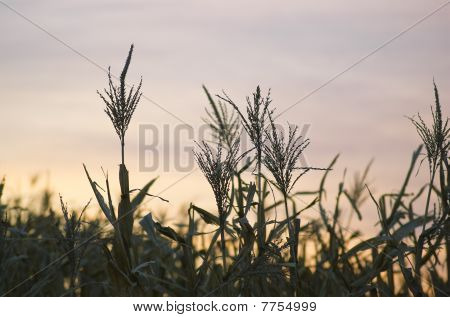 Wheat Crop Against A Sunset Sky