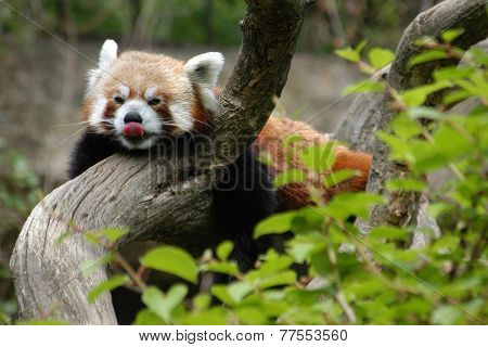 Red panda (Ailurus fulgens), also known as the lesser panda and the red cat-bear.
