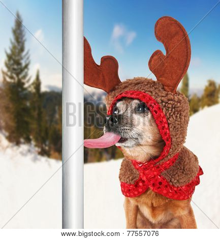 a chihuahua dressed up for christmas as a reindeer licking a frozen pole with his tongue