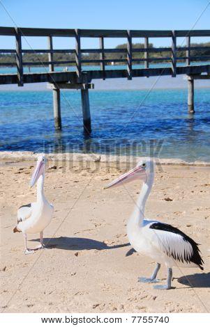 Pelicans At Pier