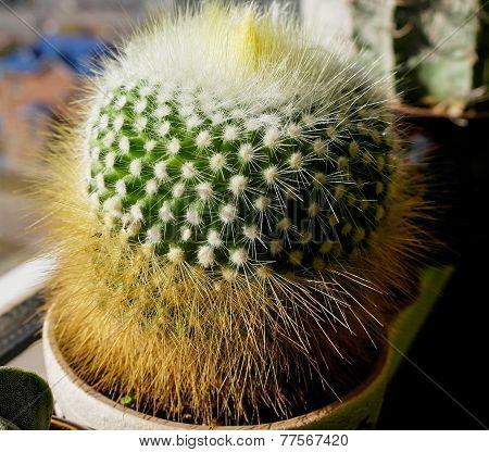 Cactus The Parody In A Pot
