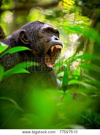 Chimpanzee screaming in the African Rain forest. Wild animal and endangered species in need of nature conservation. Great ape portrait. Chimp in natural wilderness poster