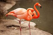 Beautiful Flamingo Couple Rest at the Side of The Water. poster