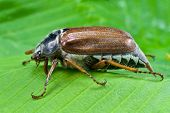 spring beetle cockchafer on green leaves background poster