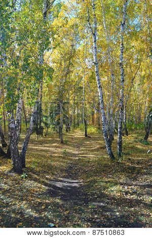 Path in a birch grove. Autumn landscape.