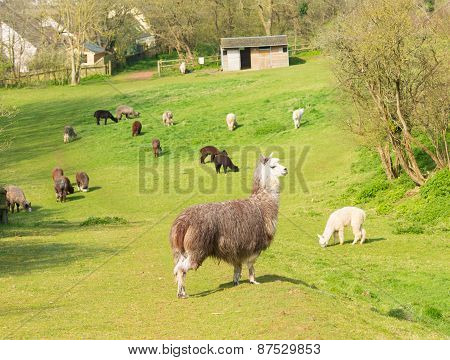 Herd of Alpaca South American camelid resembles small llama coat used for wool