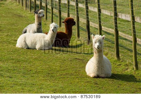 Group of Alpacas lying down resting by a fence brown and white