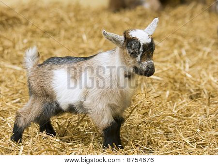 A baby goat standing on straw bedding in an indoor animal pen poster