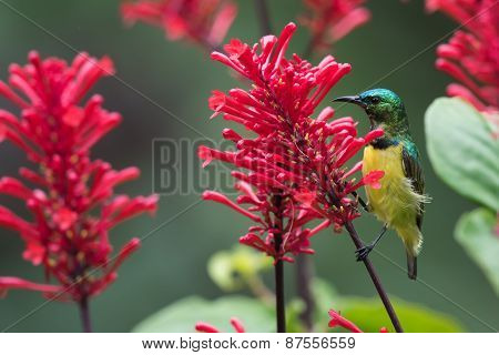 Collared Sunbird (hedydipna Collaris) Perched For Nectar Drinking