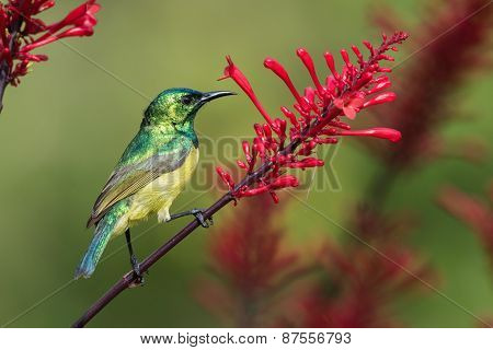 Collared Sunbird (hedydipna Collaris) Perched On A Flower