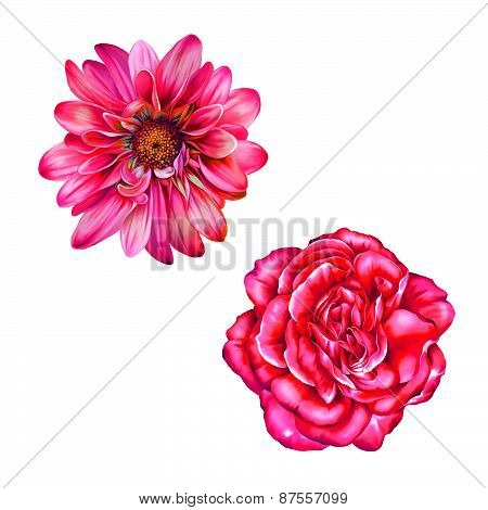 Pink Red Rose Flower, Mona Lisa flower, Isolated on white background