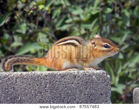 Eastern Chipmunk Posing on a Cement Block