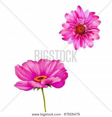 Mona Lisa flower, Pink flower, Spring flower.Isolated on white background. chrysanthemum. Tender pin