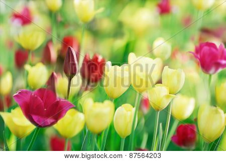 Colorful Tulips On Nature Background