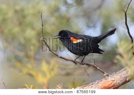 Male Red-winged Blackbird Calling From A Perch