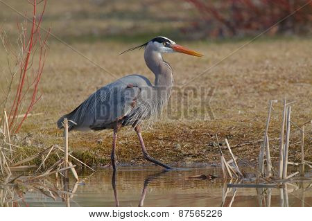 Great Blue Heron Stalking Its Prey At The Edge Of A Pond