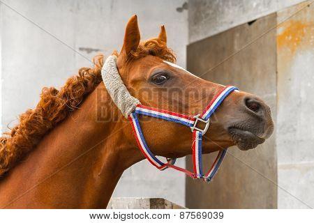 Arab Siglavi Horse Portrait