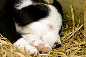 A Border Collie puppy sleeping on a bed of straw poster